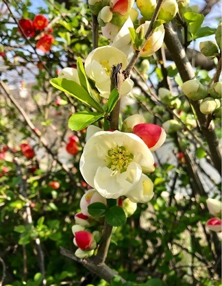 【上2枚のお写真は、福岡に咲いているボケ。原産地は中国大陸。日本では帰化植物(平安時代)】1