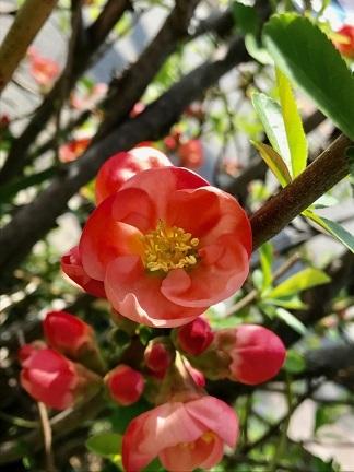 【上2枚のお写真は、福岡に咲いているボケ。原産地は中国大陸。日本では帰化植物(平安時代)】2