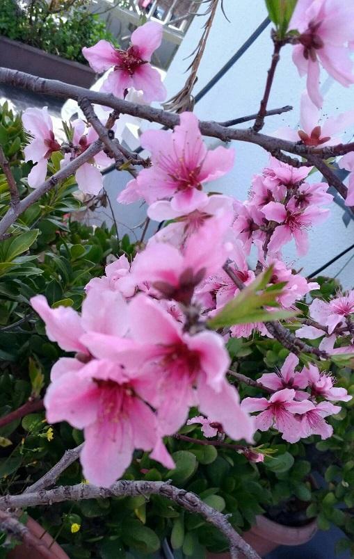 春の花2【ミーママ家の鉢植えの桃の花が少し早く今年も満開になりました】