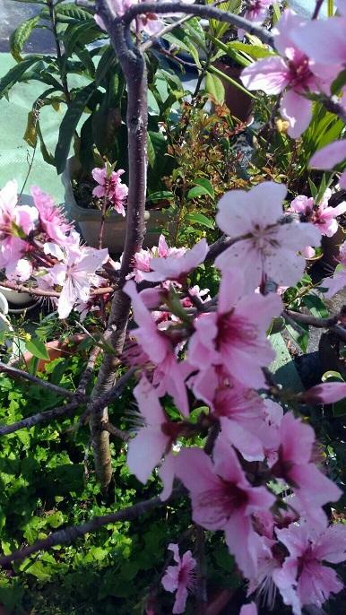 春の花9【ミーママ家の鉢植えの桃の花が少し早く今年も満開になりました】