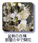 盆栽の白梅