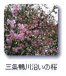 三条鴨川沿いの桜