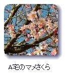 Aさん宅のマメ桜
