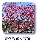 鹿ケ谷通りの梅