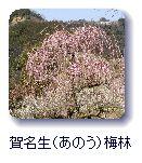 賀名生梅林 border=