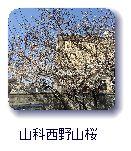 山科西野山桜