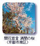 開花宣言 満開の桜(京都市南区)