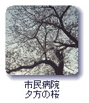 市民病院夕方の桜