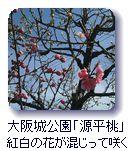大阪城公園「源平桃」紅白の花が混じって咲く
