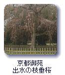 京都御苑出水の枝垂桜