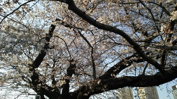 谷中の桜_2