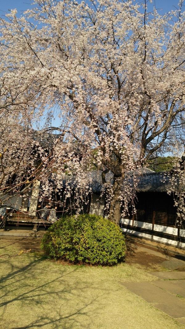谷中の天王寺の桜
