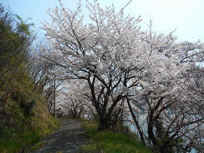 18_小佐木島桜