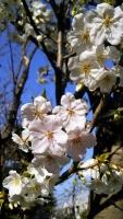 北鎌倉rainbowbird2018桜
