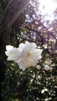 北鎌倉rainbowbird花桃