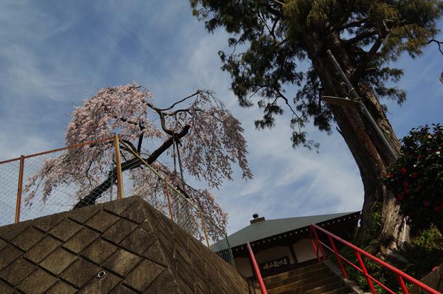 峠山観世音の桜と椿と青空