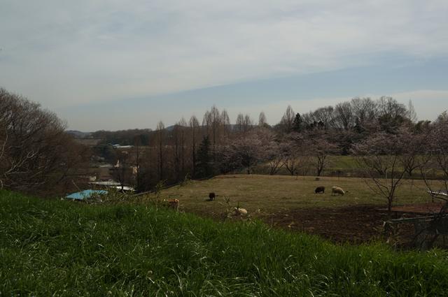 磯沼ミルクファームにて桜を見ながら昼飯