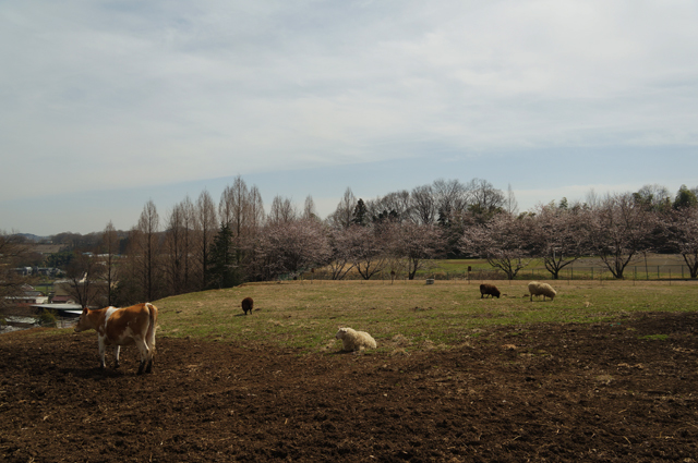 磯沼牧場の放牧地 春