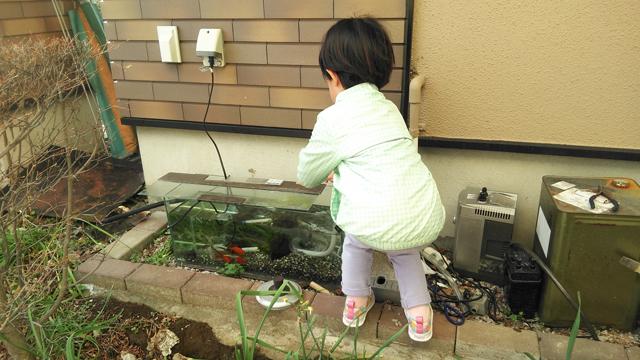魚に餌を揚げる子供