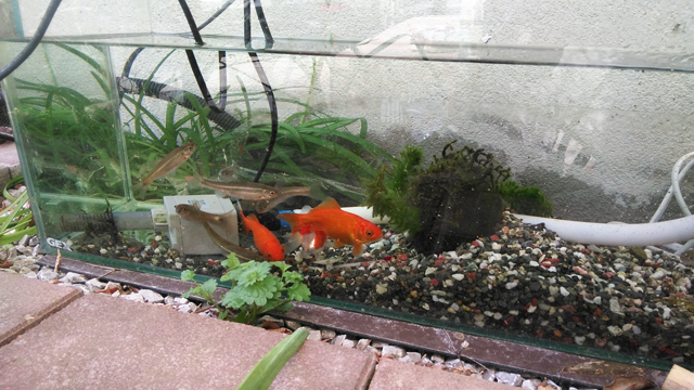 川魚と金魚