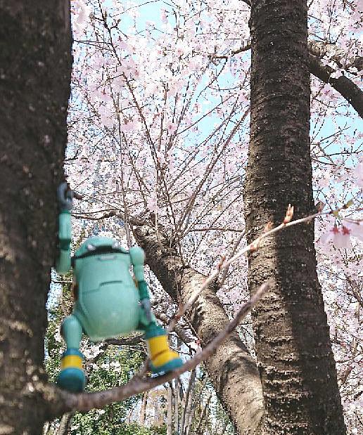今年の桜もとっても綺麗
