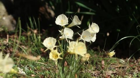 07Narcissus bulbocodium01 (480x269)