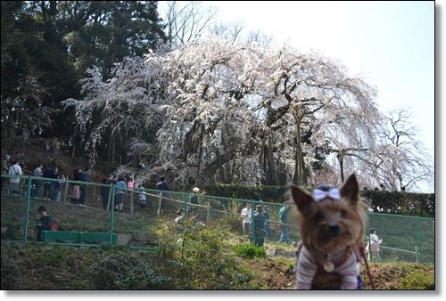 奥山寺の桜DSC_0300-20180325