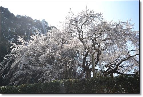 奥山寺の桜DSC_0301-20180325