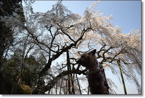 奥山寺の桜DSC_0302-20180325