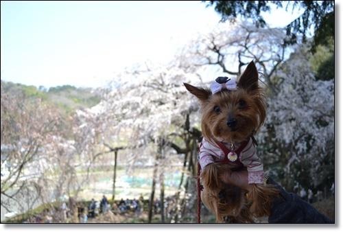 奥山寺の桜DSC_0307-20180325