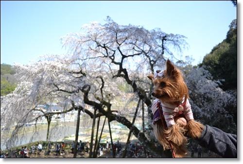 奥山寺の桜DSC_0310-20180325