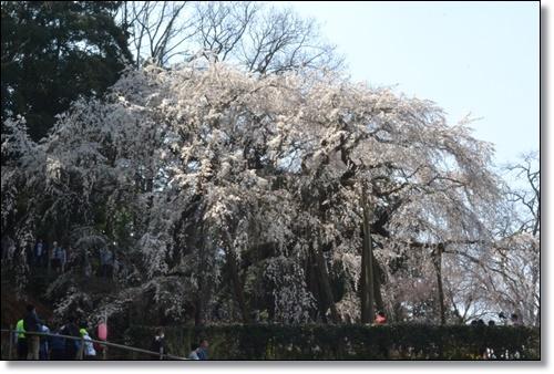 奥山寺の桜DSC_0316-20180325