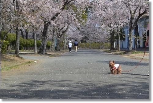 桜DSC_0014-20180331