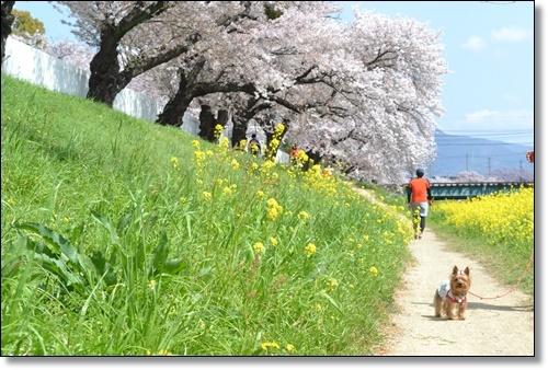 桜DSC_0032-20180331