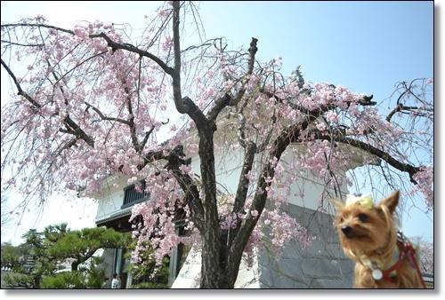 桜DSC_0069-20180401