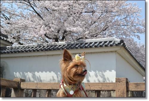 桜DSC_0073-20180401
