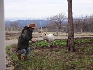 ツアー中逃げたヤギ