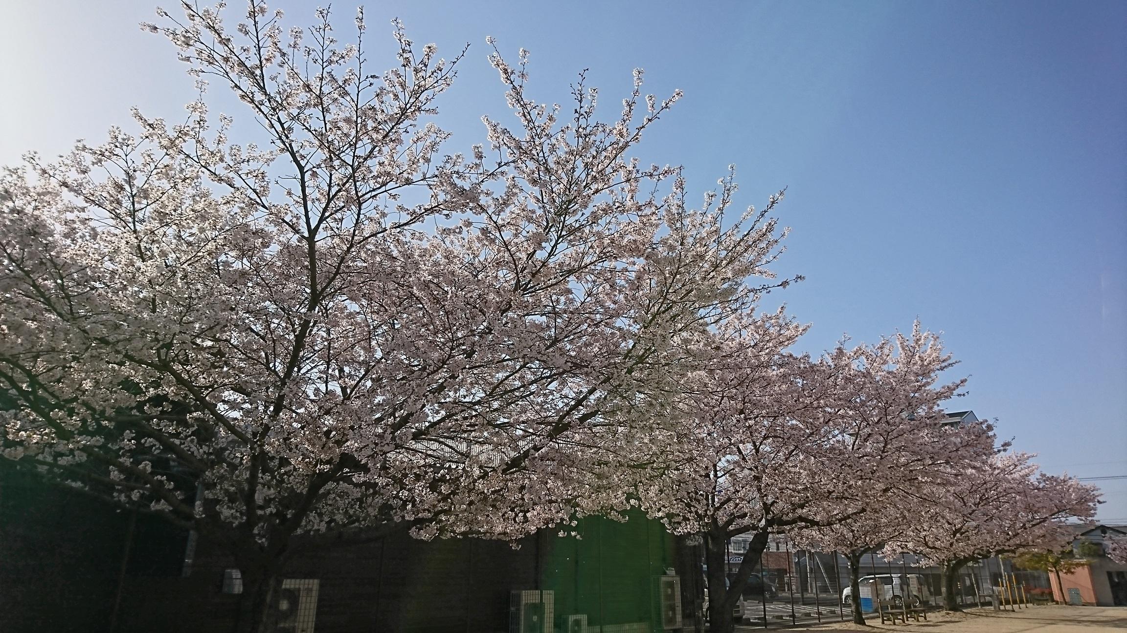 チビりことお花見その2 2018