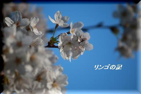 桜2018御苑①