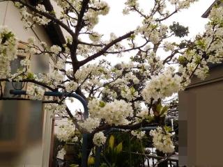 0321haruyukipura2.jpg
