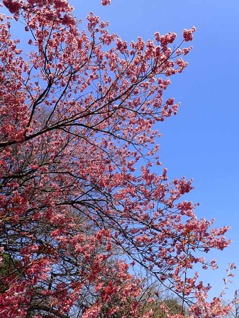 480P3140049椿寒桜