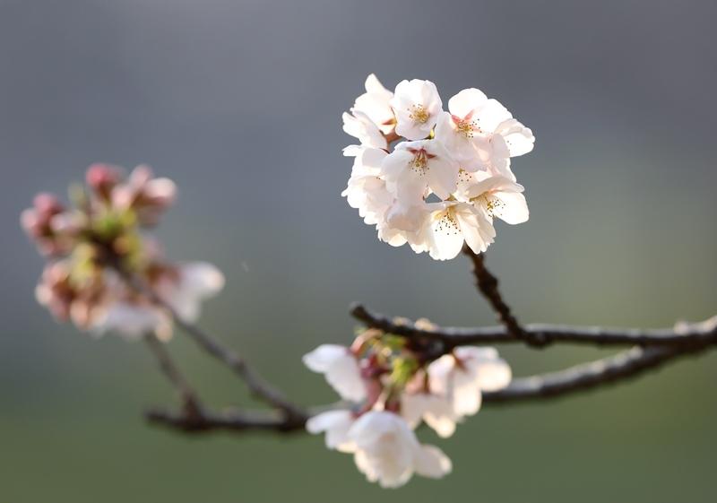 桜2180327