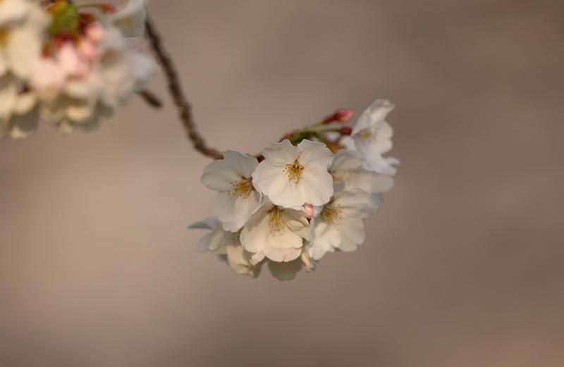桜3180327