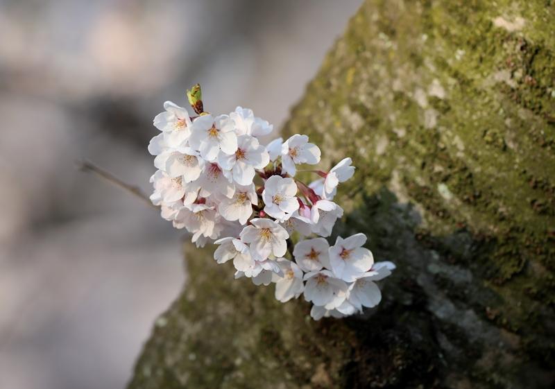 桜4180327