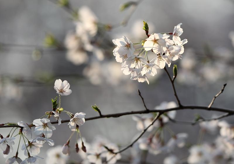 桜5180327