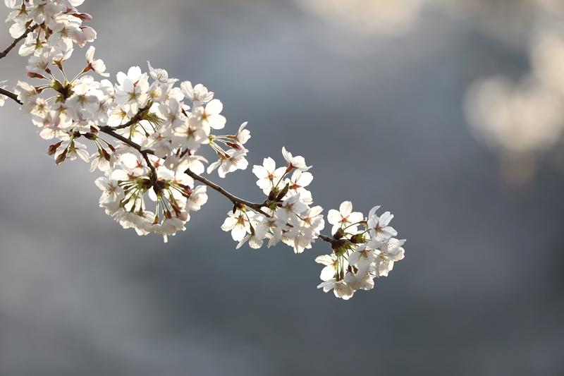 桜6180327