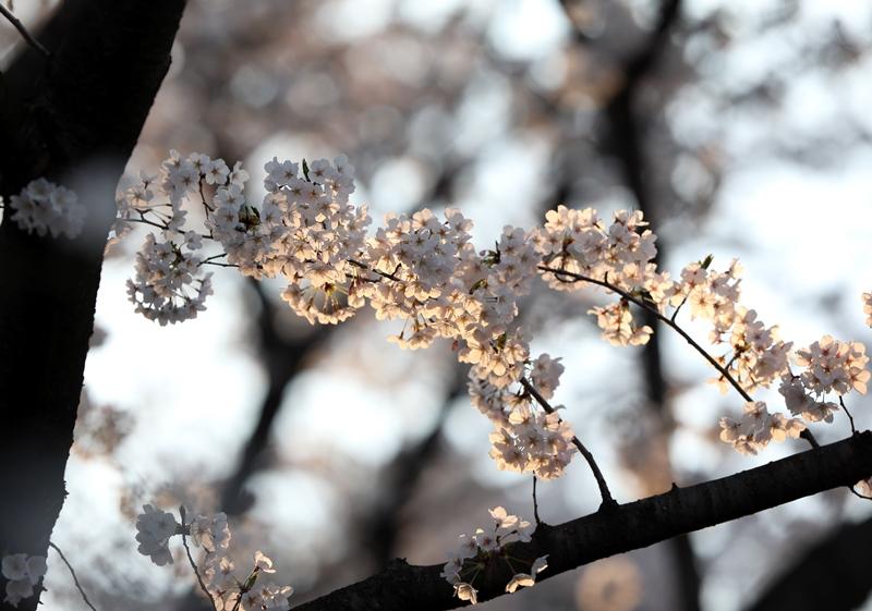 桜8180327