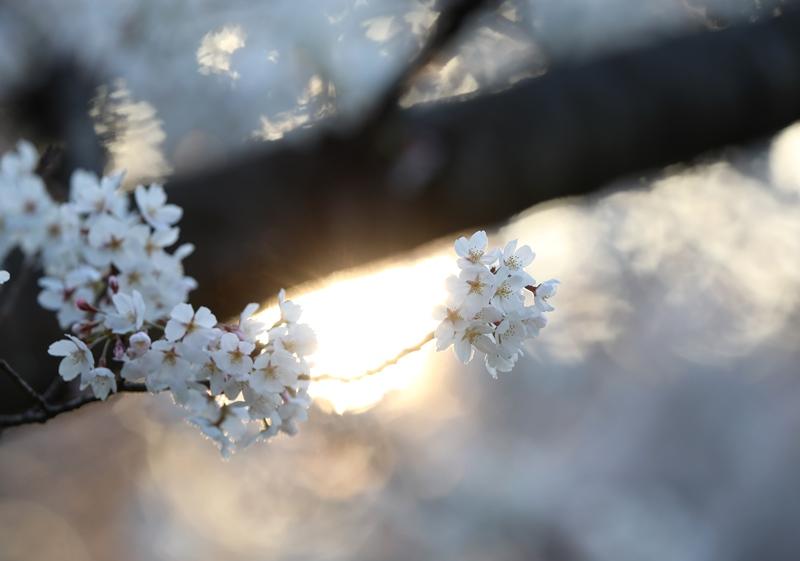 桜9180327