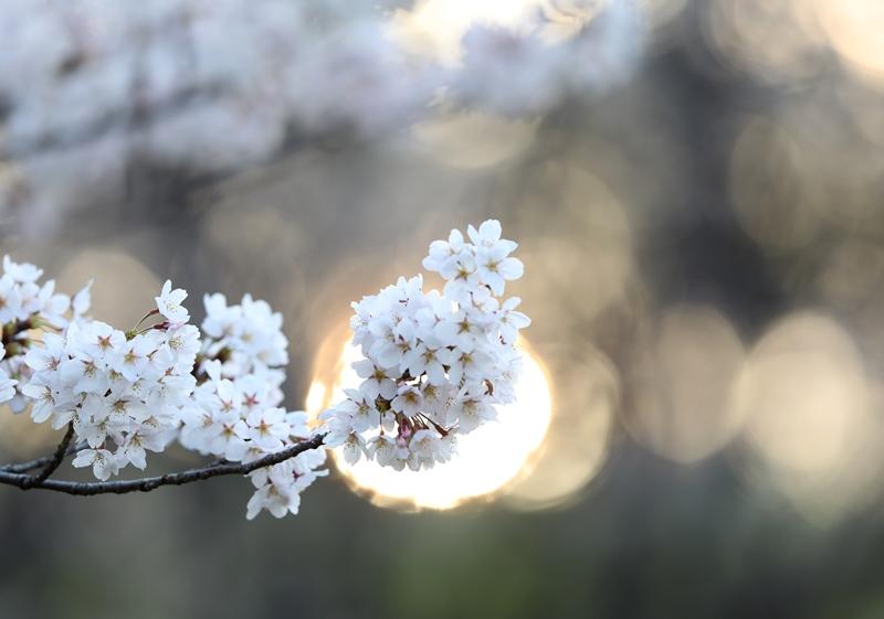 桜10180327
