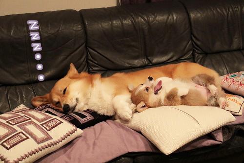 れんたん寝てる
